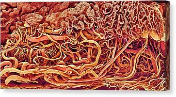 Intestinal Blood Vessels Canvas Print by Susumu Nishinaga