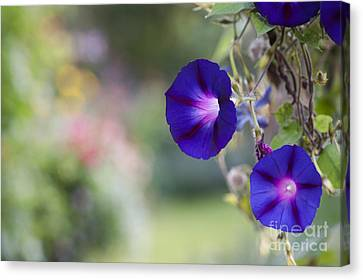 Ipomoea Morning Glory Flowers Canvas Print by Tim Gainey