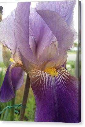 Iris  Canvas Print by Pema Hou