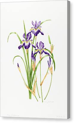 Horticultural Canvas Print - Iris Sibirica by Sally Crosthwaite