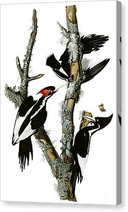 Ivory-billed Woodpecker  Canvas Print by Celestial Images
