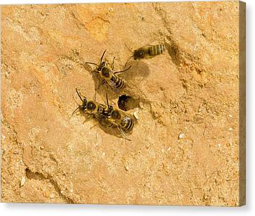 Ivy Bees Nesting In A Cliff Canvas Print by Bob Gibbons