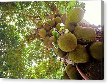 Jackfruit Tree With Fruit Growing Canvas Print by Ktsdesign