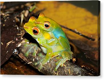 Jade Tree Frogs Mating Canvas Print by Fletcher & Baylis