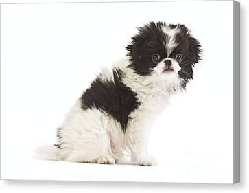 Japanese Chin Puppy Canvas Print by Jean-Michel Labat