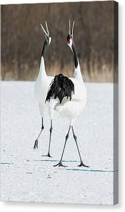 Bonding Canvas Print - Japanese Cranes Displaying by Dr P. Marazzi