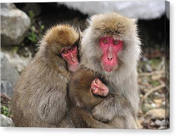 Japanese Macaque Mother With Young Canvas Print by Thomas Marent
