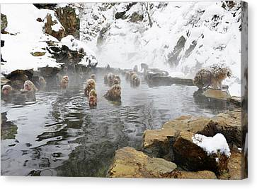 Japanese Macaques In A Hot Spring Canvas Print by Dr P. Marazzi