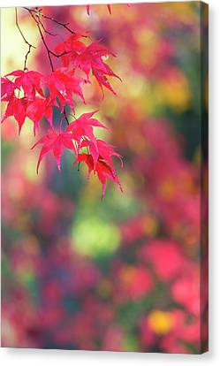 Japanese Maple In Autumn Color Canvas Print