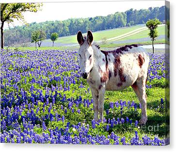 Jesus Donkey In Bluebonnets Canvas Print