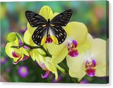 Jezebels Butterfly, Delias Species Canvas Print