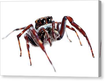 Jumping Spider Canvas Print by Alex Hyde