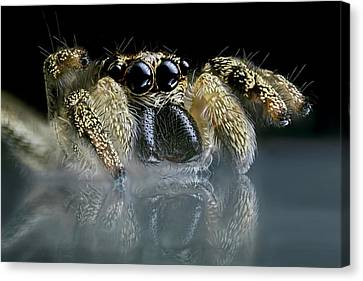 Jumping Spider Canvas Print by Frank Fox