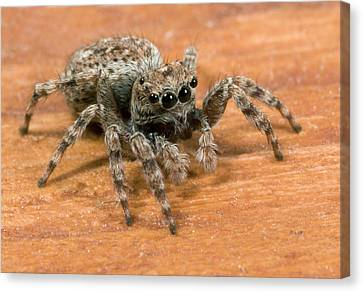 Jumping Spider Canvas Print by Nigel Downer