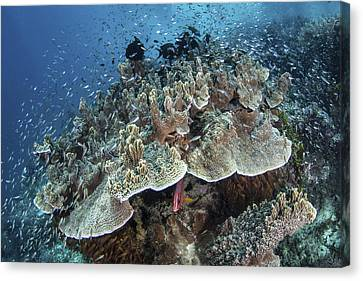 Juvenile Fish Swarm Around A Coral Canvas Print