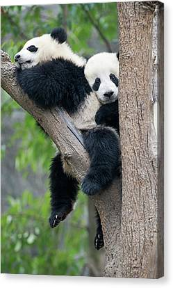 Juvenile Pandas In A Tree Canvas Print