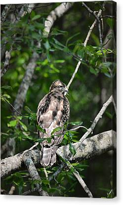 Juvenile Red Shouldered Hawk Canvas Print by Jai Johnson