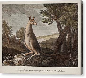 Kangaroo Canvas Print by Paul D Stewart