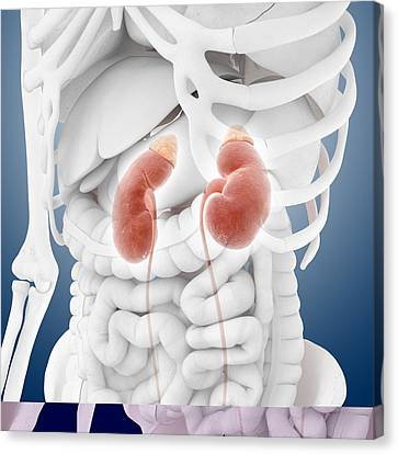 Kidneys And Ureters, Artwork Canvas Print by Science Photo Library