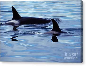 Killer Whales Canvas Print by Ron Sanford