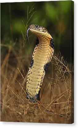 King Cobra Agumbe Rainforest India Canvas Print by Thomas Marent