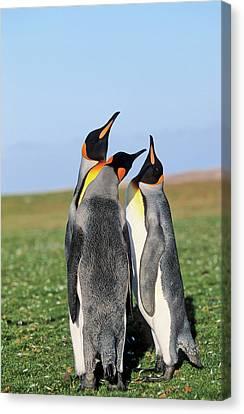 King Penguin (aptenodytes Patagonica Canvas Print