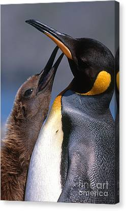 King Penguin With Chick Canvas Print by Art Wolfe