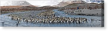 King Penguins Aptenodytes Patagonicus Canvas Print