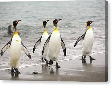 King Penguins Emerge From A Fishing Trip Canvas Print by Ashley Cooper