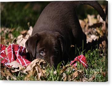 Labrador Puppy Canvas Print by Linda Freshwaters Arndt