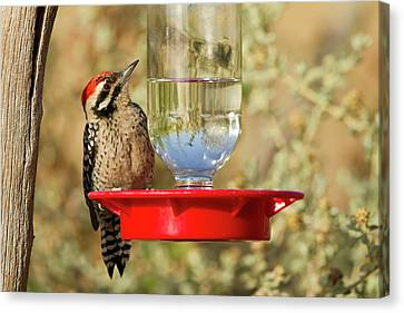 Ladder-backed Woodpecker (picoides Canvas Print by Larry Ditto