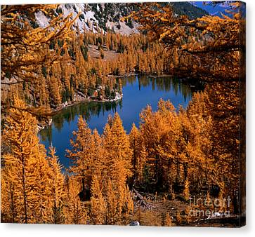 Larch Trees Around Cooney Lake Canvas Print by Tracy Knauer