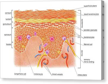Layers And Cells Of Epidermis Canvas Print