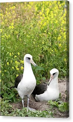 Bonding Canvas Print - Laysan Albatross (phoebastria by Daisy Gilardini