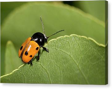 Leaf Beetle Canvas Print