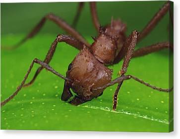 Leafcutter Ant Cutting Papaya Leaf Canvas Print by Mark Moffett