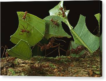 Leafcutter Ants Carrying Leaves French Canvas Print by Mark Moffett