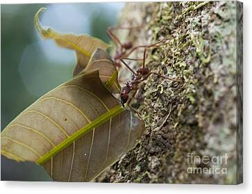Leafcutter Ants Canvas Print by William H. Mullins