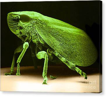 Leafhopper Sem Canvas Print by David M Phillips