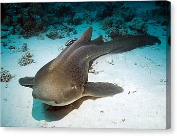 Leopard Shark And Remora Canvas Print by Georgette Douwma