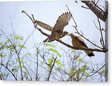 Lesser Kestrel Falco Naumanni Canvas Print by Photostock-israel