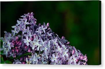 Lilac 4 Canvas Print by Simone Ochrym