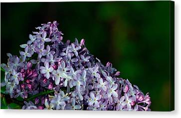 Lilac 4 Canvas Print