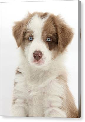 Lilac Border Collie Puppy Canvas Print