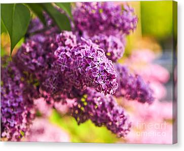 Lilacs Canvas Print by Elena Elisseeva