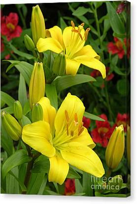 Lilies Lilium Limelight Canvas Print