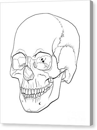Line Illustration Of A Human Skull Canvas Print by Nicholas Mayeux