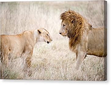 Lion And A Lioness Panthera Leo Canvas Print