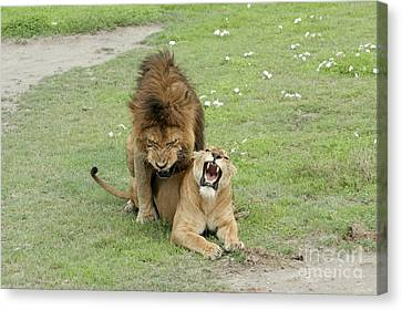 Lion And Lioness Mating Canvas Print by PhotoStock-Israel