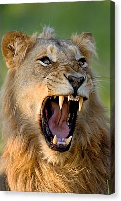 Lion Canvas Print by Johan Swanepoel
